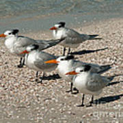 Gaggle Of Gulls Poster