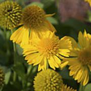 Gaillarde Mesa Yellow Poster