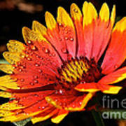Gaillardia Flower Poster