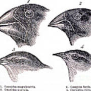 Galapagos Finches Poster