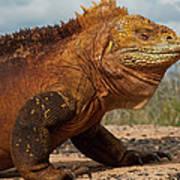 Galapagos Land Iguana Conolophus Poster