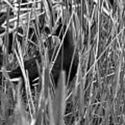 Gallinule In The Grass Poster
