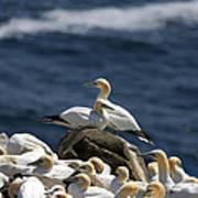 Gannets Gannets Everywhere Poster