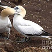 Gannets Showing Mutual Preening Behavior Poster