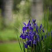 Garden Blue Irises Poster