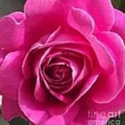 Garden Rose Poster