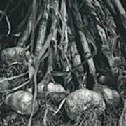 Garlic Bulbs Poster