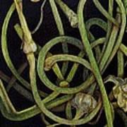 Garlic Heads Poster