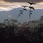 Geese At Dusk Poster