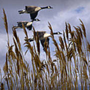 Geese Coming In For A Landing Poster