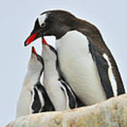 Gentoo Feeding Time Poster by Tony Beck