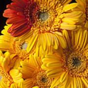 Gerbera Daisy With Orange Petals Poster
