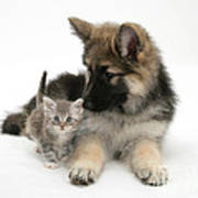 German Shepherd Dog Pup With A Tabby Poster
