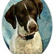 German Shorthaired Pointer 088  Poster