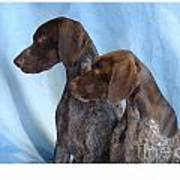 German Shorthaired Pointer 306 Poster