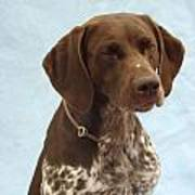 German Shorthaired Pointer 740 Poster
