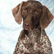 German Shorthaired Pointer 953 Poster