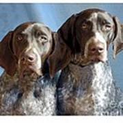 German Shorthaired Pointers 127 Poster