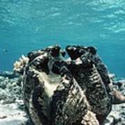 Giant Giant Clam Poster