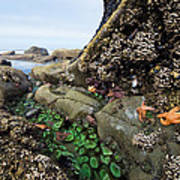 Giant Green Sea Anemone Anthopleura Poster