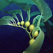Giant Kelp Detail Poster