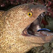 Giant Moray Eel And Cleaner Wrasse Poster
