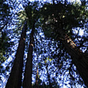 Giant Redwoods, Muir Woods, California Poster