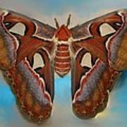 Giant Silk Moth Poster