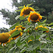 Giant Sunflowers Poster