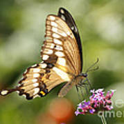Giant Swallowtail Butterfly Poster