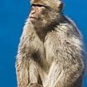 Gibraltar Barbary Macaque Macaca Poster