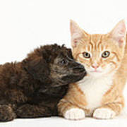 Ginger Kitten And Toy Poodle Poster