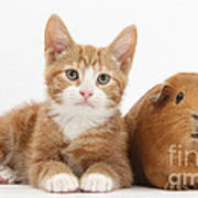 Ginger Kitten With Red Guinea Pig Poster