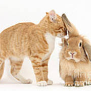 Ginger Kitten With Sandy Lionhead Rabbit Poster