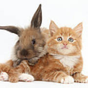 Ginger Kitten Young Lionhead-lop Rabbit Poster