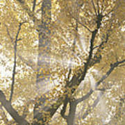 Ginkgo Tree With Sunlight Streaming Poster