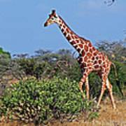 Giraffe Against Blue Sky Poster