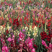 Gladioli Garden In Early Fall Poster
