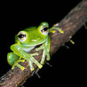 Glass Frog 02 Poster