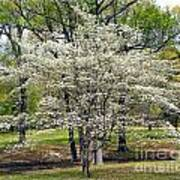 Glenna's Dogwood In The Spring Poster