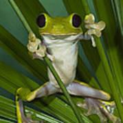 Gliding Leaf Frog Agalychnis Spurrelli Poster
