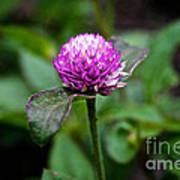 Globe Amaranth Bicolor Rose Poster