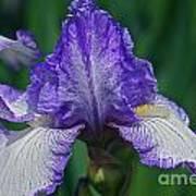 Glorious Iris Poster