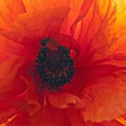 Glowing Poppy Poster
