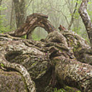 Gnarly Old Tree In Fog Along The Blue Ridge Parkway Poster by Bill Swindaman