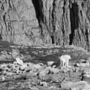 Goat Herd On Mount Evans Poster