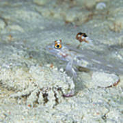 Goby With A Hermit Crab, Australia Poster
