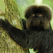 Goeldis Monkey Callimico Goeldii Poster
