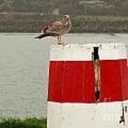 Gold Beach Gull Poster