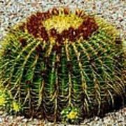 Golden Barrel Cactus Poster